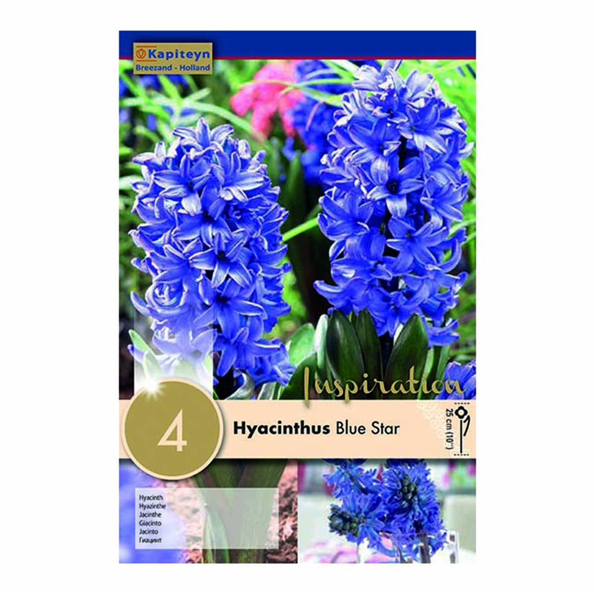 Bulbi Di Hyacinthus Blue Star
