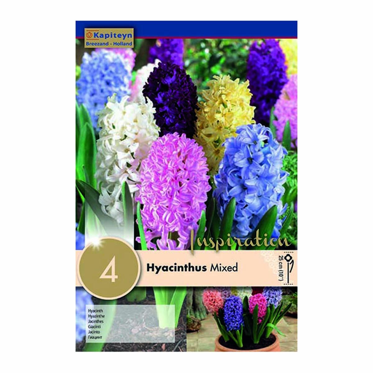 Bulbi Di Hyacinthus Colori Misti