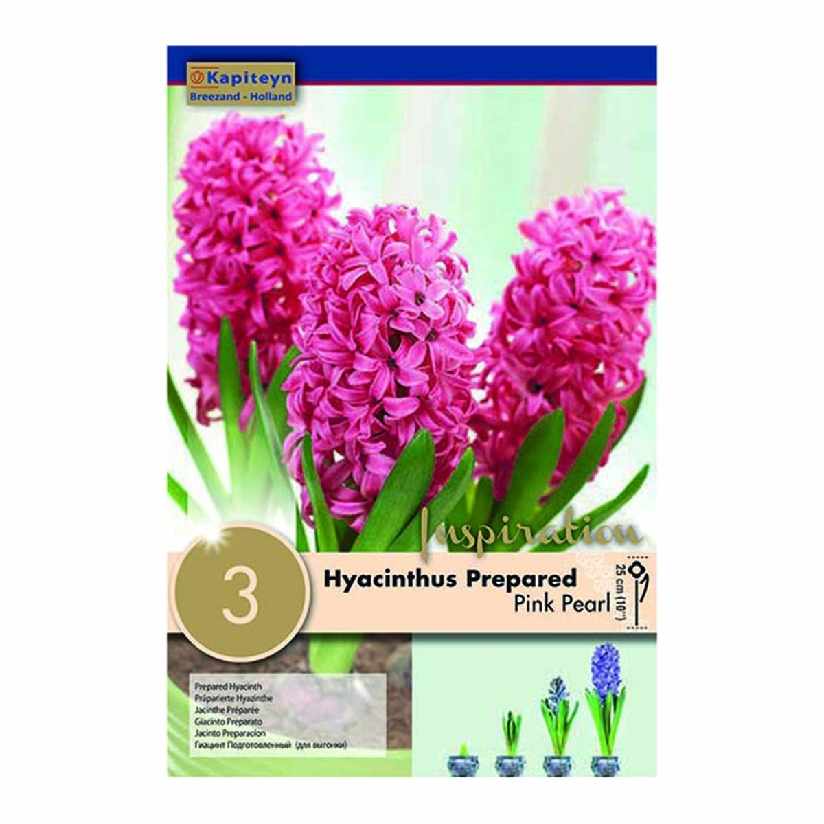 Bulbi Di Hyacinthus Preparati Pink Pearl