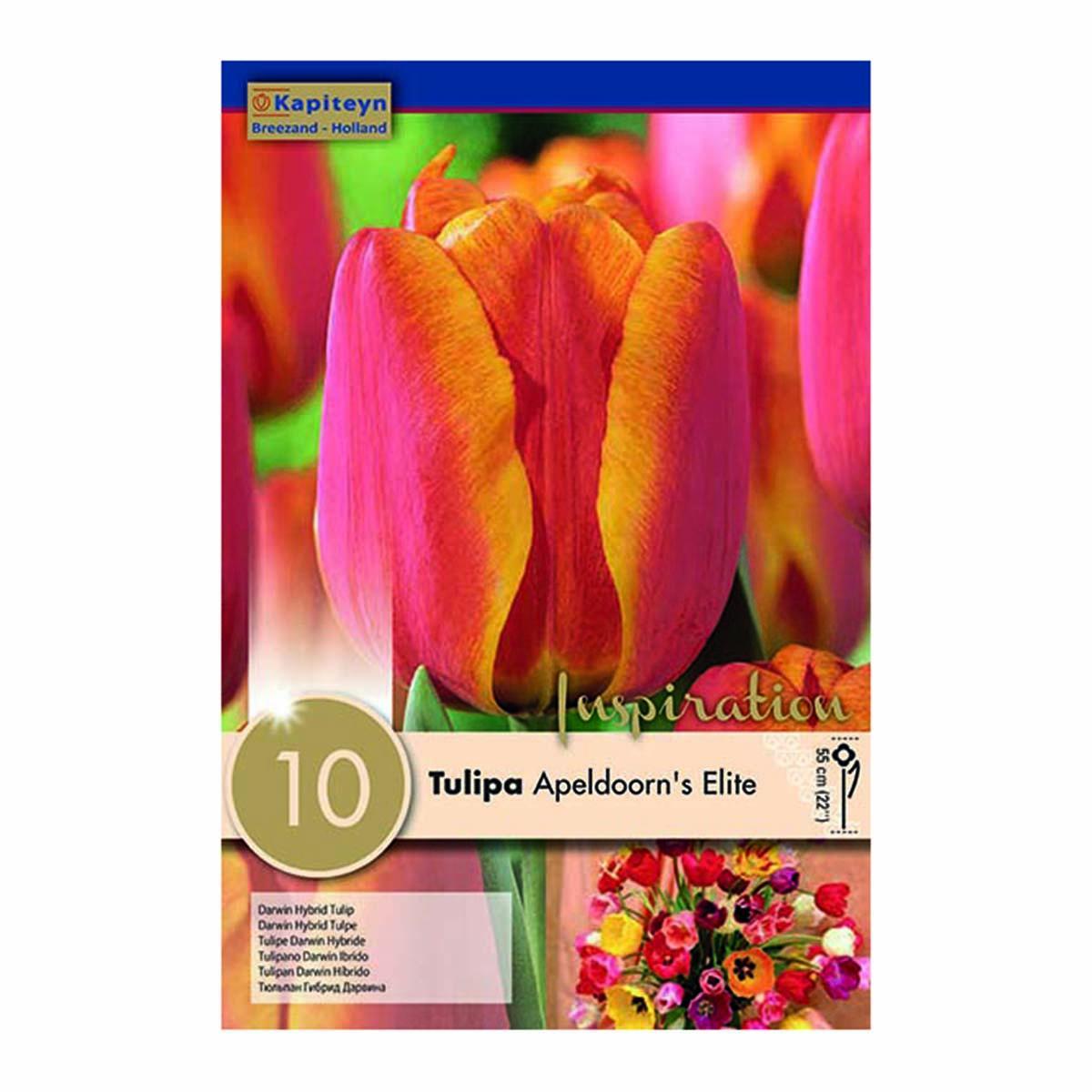 Bulbi Di Tulipani Apeldoorn Elite