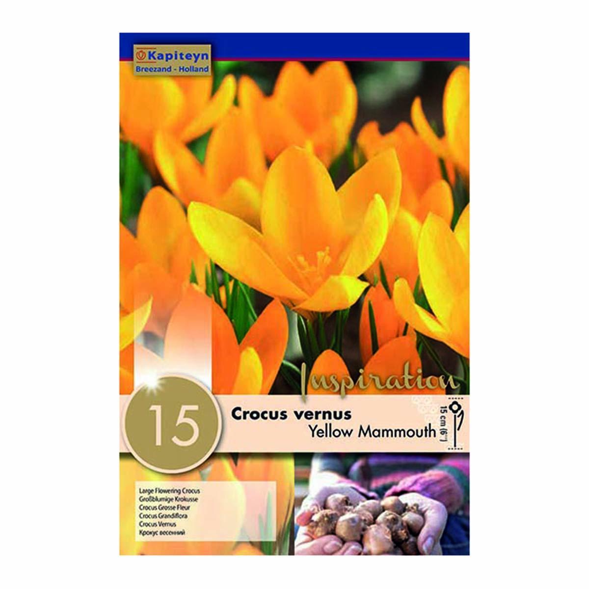 Bulbi Di Crocus Large Flowering Yellow Mammouth