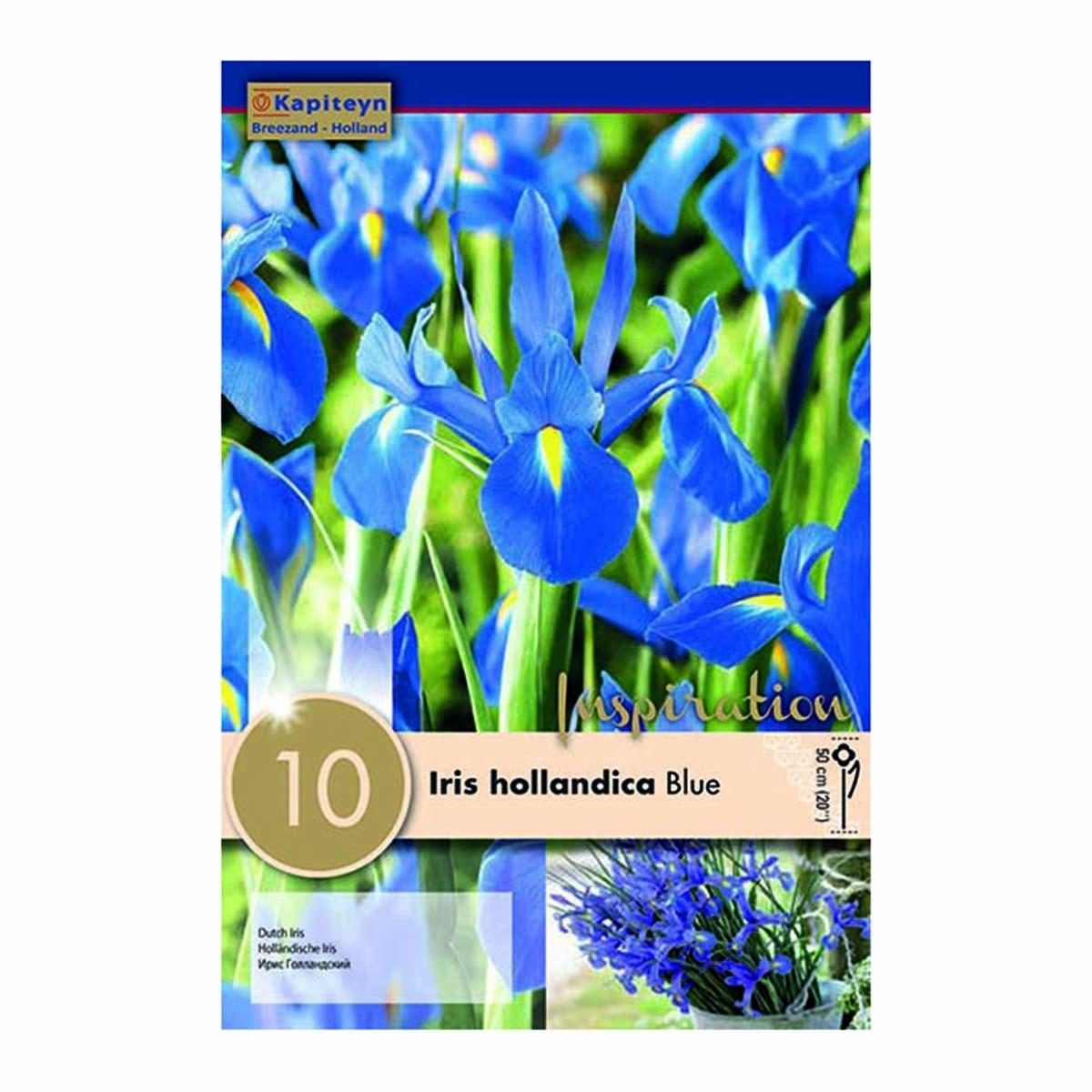 Bulbi Di Iris Hollandica Blue