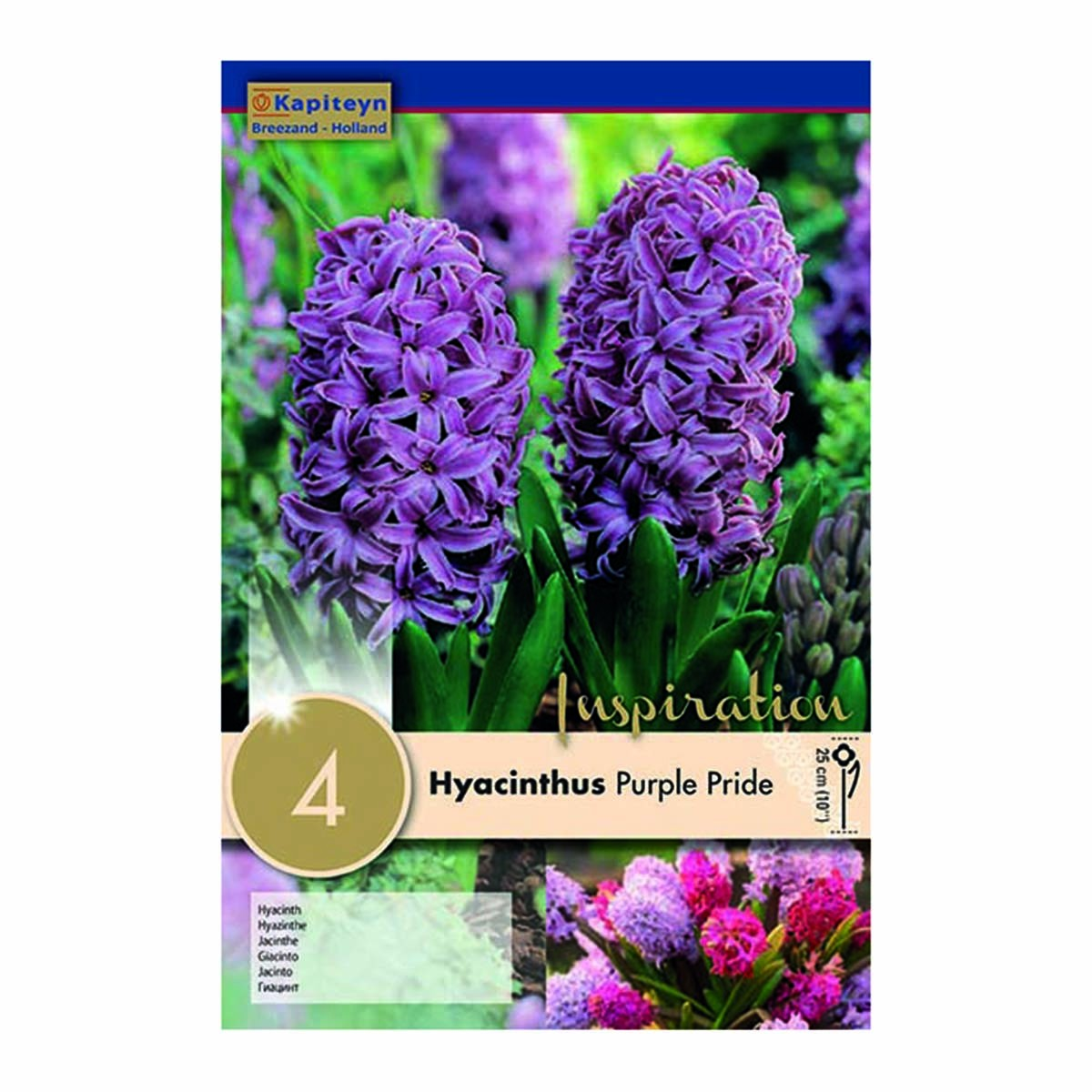 Bulbi Di Hyacinthus Purple Pride