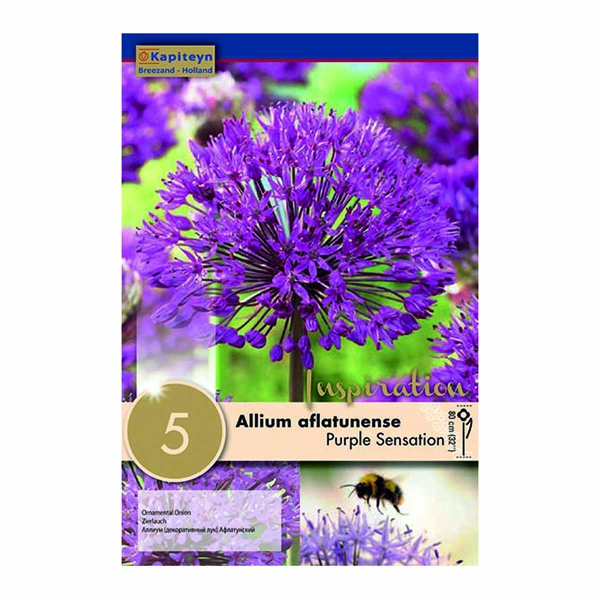 Bulbi Di Allium Aflatunense Purple Sensation